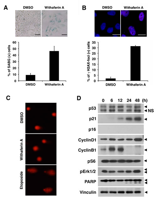 Withaferin A induces cellular senescence and increases p21