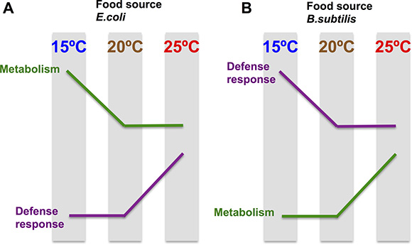 The transcriptomic temperature response is opposite in nematodes grown on an E. coli diet vs a B. subtilis diet.