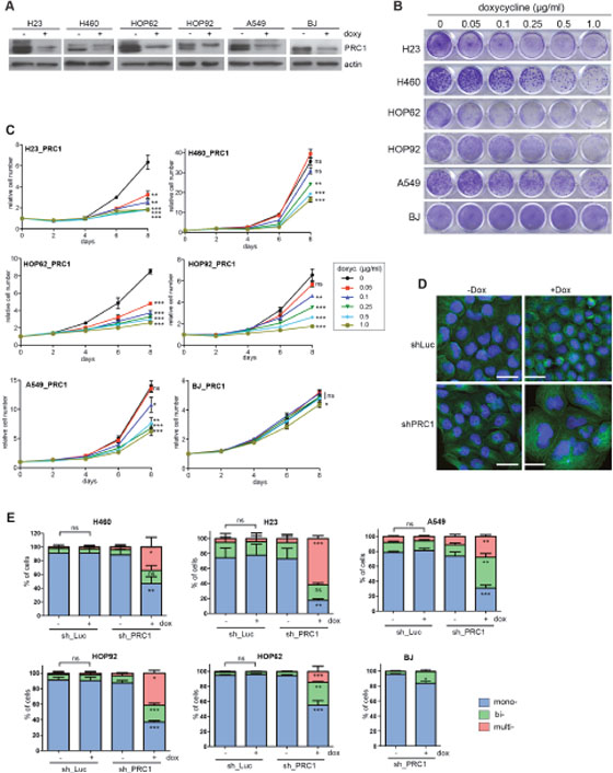 PRC1 is required for proliferation of lung cancer cell lines.