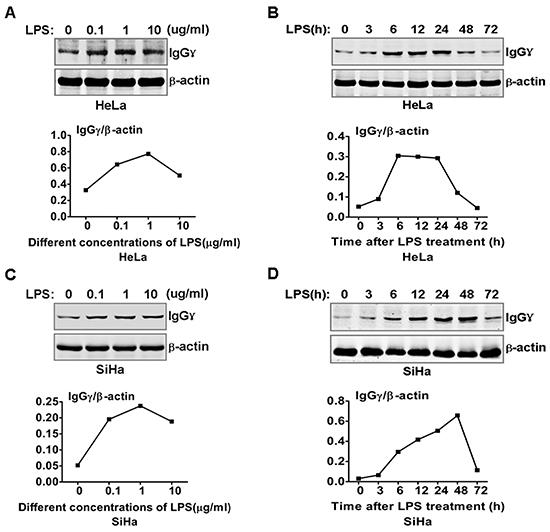 LPS regulated IgG expression in cervical cancer cells.