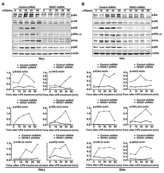 Reduction of IgG impaired LPS-initiated TLR4 signaling pathways in cervical cancer cells.