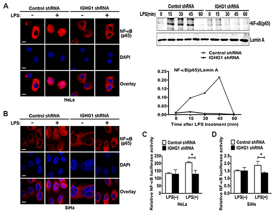 Reduction of IgG impaired LPS-Induced NF-κB activation and nuclear translocation in cervical cancer cells.