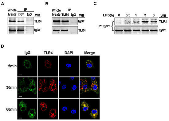 Association of TLR4 with IgG in LPS activated cervical cancer cells.