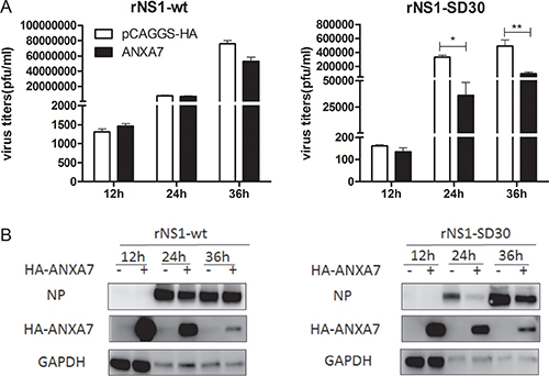 Overexpression of ANXA7 inhibits rNS1-SD30 virus replication.