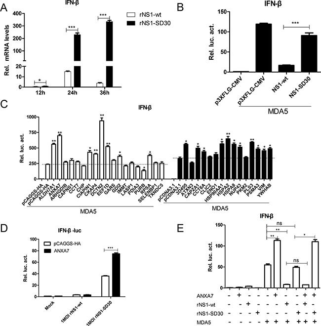 ANXA7 promotes the IFN-β response.