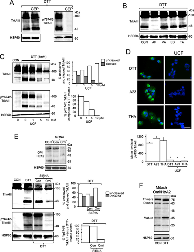 ER stress induced activation of mitochondrial TrkAIII is Omi/HtrA2-mediated and cleavage-dependent.