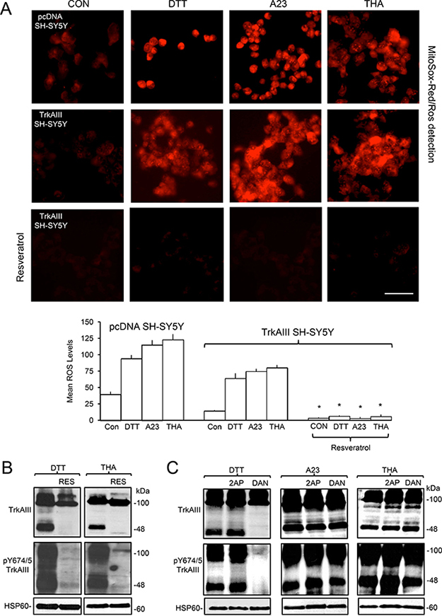 ER stress-induced activation of mitochondrial TrkAIII is ROS-dependent.