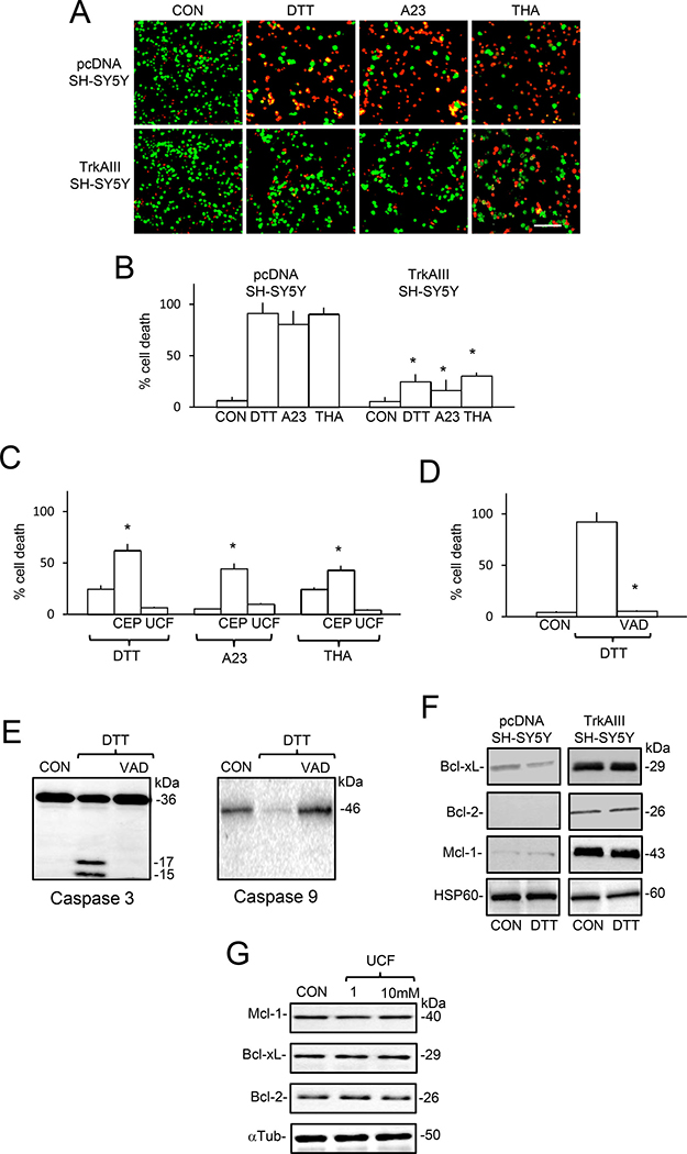 TrkAIII augments SH-SY5Y cell-resistance to DTT, A23187 and thapsigargin-induced death.