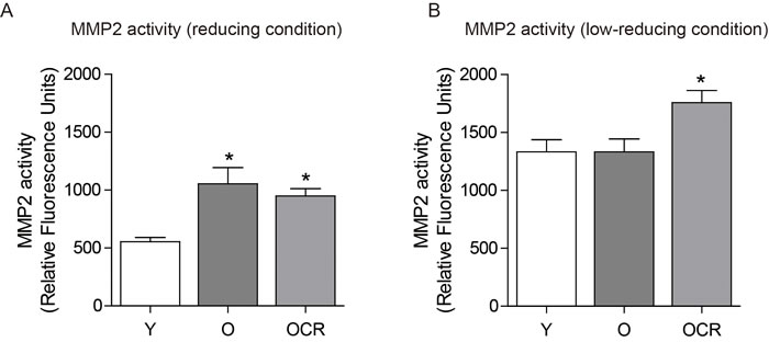 Effects of aging and CR on MMP2 activity.
