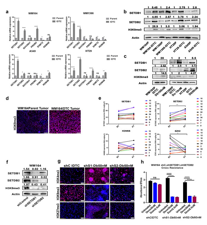 SETDB1 and SETDB2 regulate H3K9me3 in IDTCs and knockdown restores drug sensitivity.