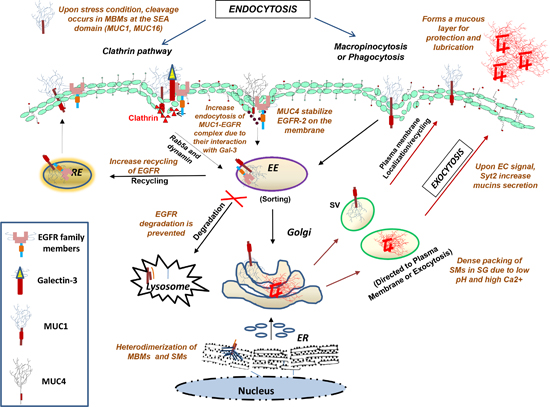 Diagrammatical representation of the intracellular transport of glycoproteins along endocytic and exocytic pathways.