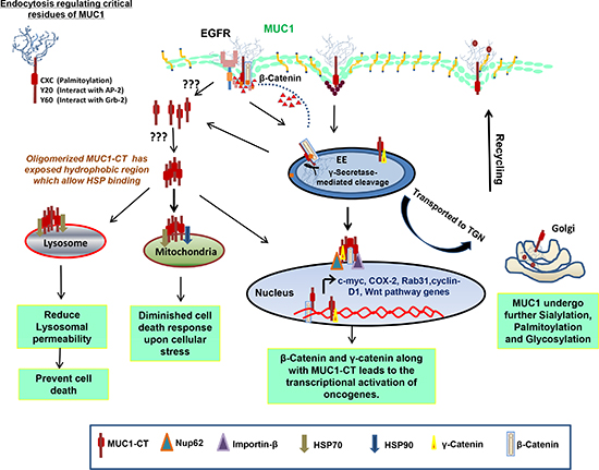 Mechanisms of intracellular transport and sorting of MUC1.