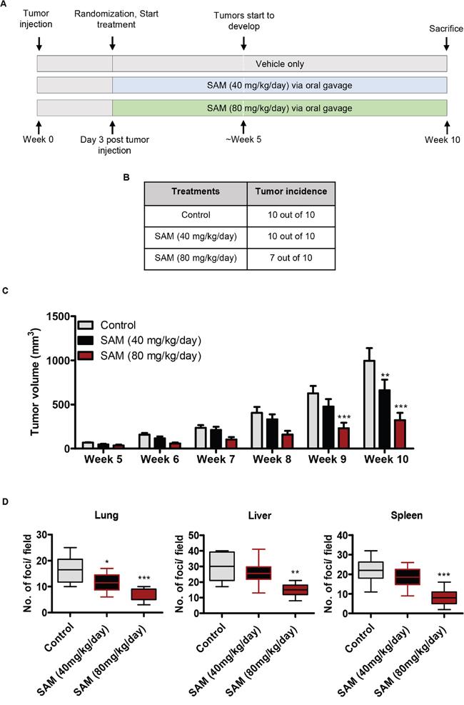 Effect of SAM on MDA-MB-231 tumor growth and metastasis.