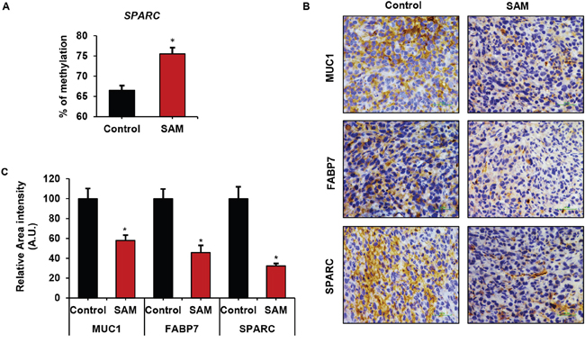 Effect of SAM-treatment on promoter methylation and protein expression of cancer-related genes.