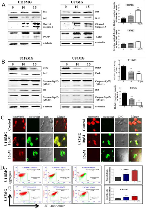 NSC745887 treatment induces the intrinsic and extrinsic apoptotic pathways in GBM cell lines.