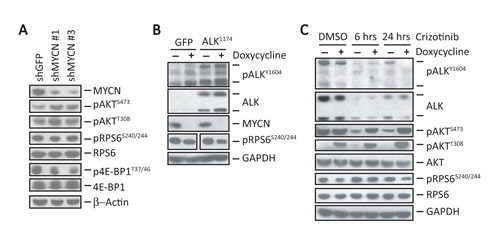 MYCN sustains mTORC1 signaling in NB cells.