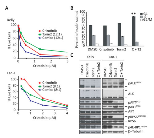 Torin2, a selective mTORC1 inhibitor, enhances the effect of crizotinib in