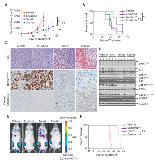 Combination of crizotinib and Torin2 leads to tumor regression and extends survival in an