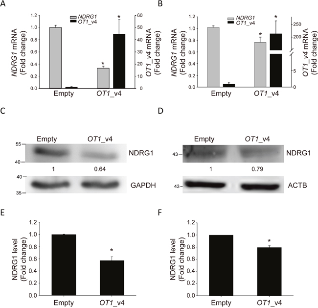 NDRG1-OT1_v4 inhibits NDRG1 mRNA and protein levels.