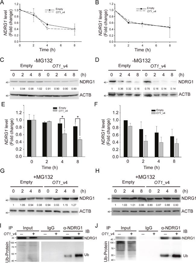NDRG1-OT1_v4 promotes NDRG1 degradation via ubiquitination.