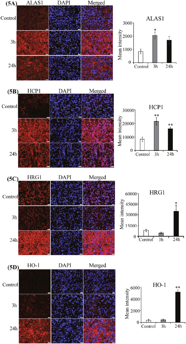 CA4P induces heme-related proteins.