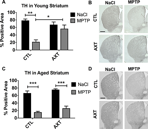 Consumption of the AXT enriched diet protects against the loss of TH positive fibers innervating the striatum in young mice.