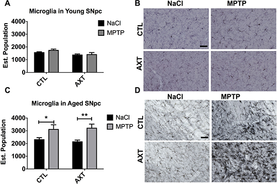 Exposure to MPTP increases the number of IBA 1 positive microglia in the SNpc of aged but not young mice.