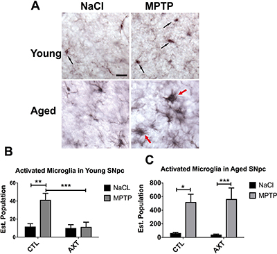 AXT supplementation decreases MPTP induced microglial activation in the SNpc of both young and aged mice.