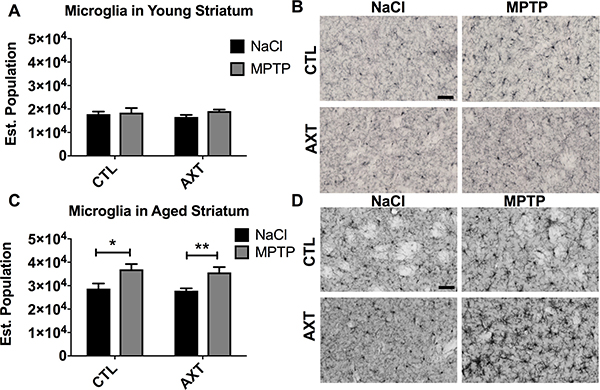 In young animals, the number of microglia in the STR was not altered by MPTP or the AXT treatment.