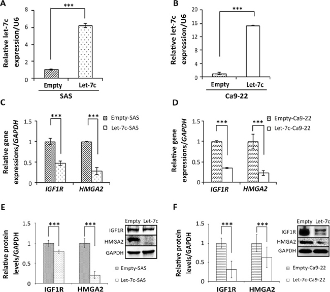 Let-7c inhibits IGF1R and HMGA2 expression in HNSCC cell lines.
