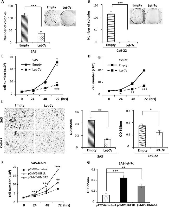 Let-7c inhibits colony formation, proliferation, and migration in HNSCC cell lines.