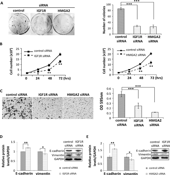 Reduction of IGF1R and HMGA2 inhibits colony formation, cell proliferation, migration, and EMT in HNSCC cells.