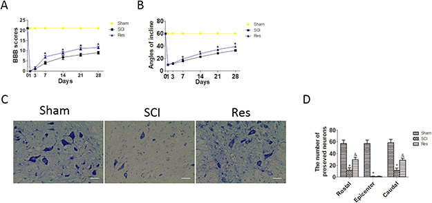 Resveratrol (Res) improves the motor function of hind limbs and the number of the preserved motor neurons after acute SCI in SD rats.