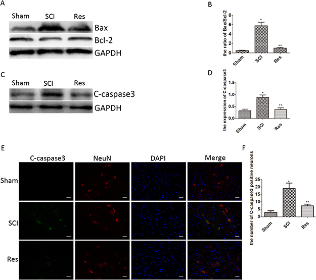 Resveratrol alleviates the neuronal apoptosis after acute SCI in SD rats.