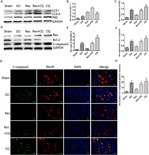 Resveratrol alleviates the neuronal apoptosis by ameliorating autophagic flux after acute SCI in SD rats.