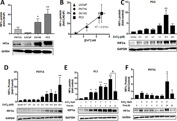 Zn2+ induces HIF1α protein expression in PC3 cells in a time- and dose-dependent manner.
