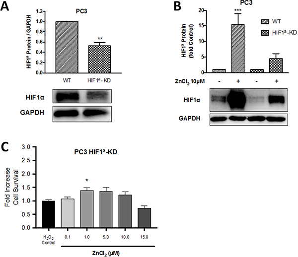 The protective role of Zn2+ against oxidative injury in PC3 cells is HIF1α dependent.