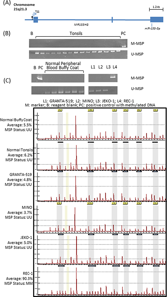 Methylation of miR-155-3p in mantle cell lymphoma (MCL) cell lines.