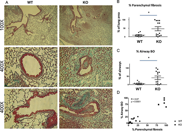 Increased parenchymal fibrosis and bronchiolitis obliterans (BO) in the lung grafts of KO mice.