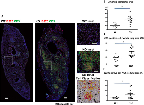 Increased lymphoid aggregates in lung grafts of KO (n = 9) compared to WT (n = 13) mice.