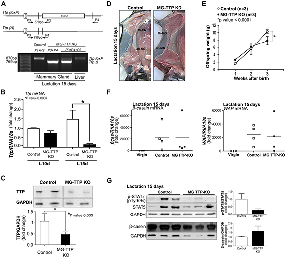 Mammary-specific TTP down-regulation leads to lactation deficiency.