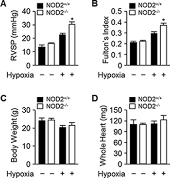 Exaggerated elevation of RVSP and Fulton's index values in NOD2−/− mice after chronic hypoxia.