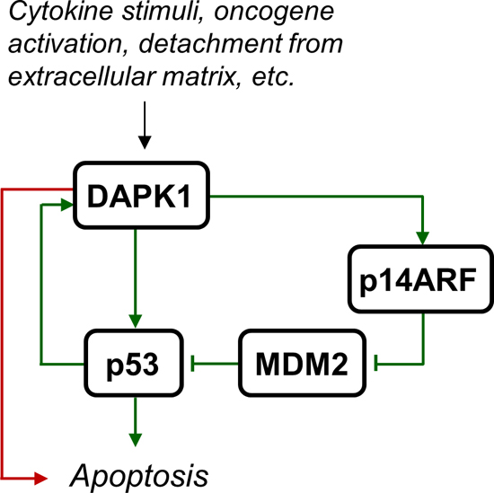 DAPK1 activation leads to apoptosis.