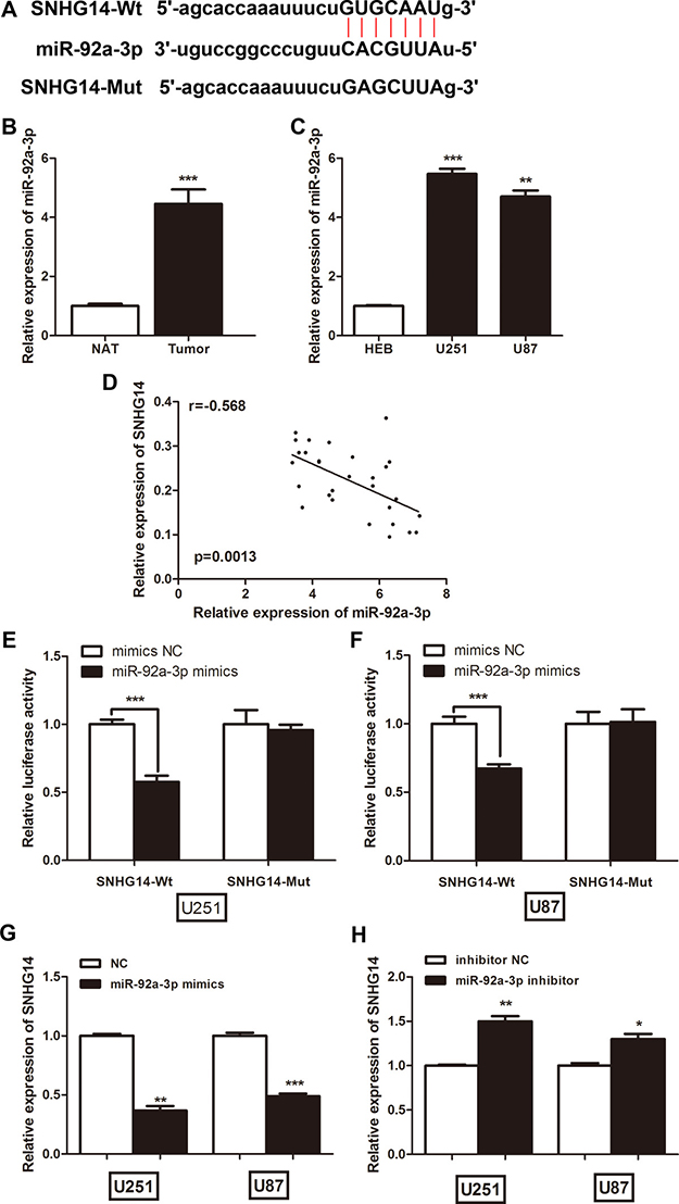 LncRNA SNHG14 directly interacted with miR-92a-3p in glioma cells.