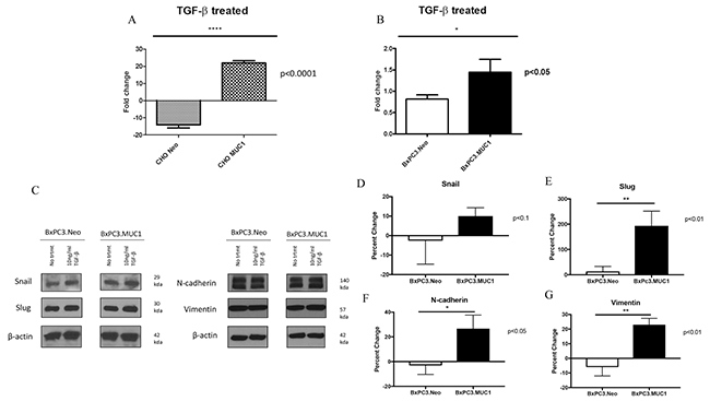 MUC1 overexpressing cells undergo significantly higher levels of invasion in response to TGF-β1 treatment.