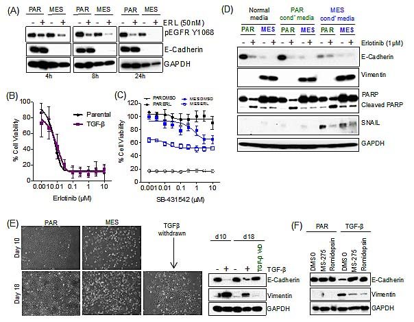 Resistance to erlotinib upon EMT is independent of drug efflux, TGF-β and secreted factors.