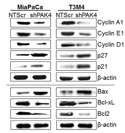 Effect of PAK4 silencing on the expression of proteins associated with cell-cycle and apoptosis.