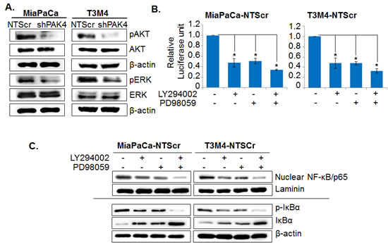 PAK4-activated Akt and ERK cooperatively promotes nuclear accumulation and transcriptional activity of NF-κB.