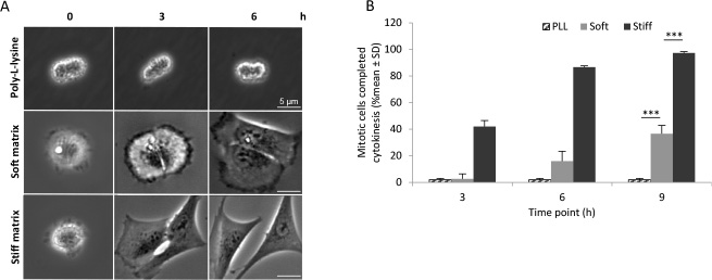 Cytokinetic abscission in the absence of midbody proteins depends on matrix stiffness.