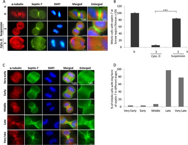 Septin-7 stabilises the ingressed plasma membrane.